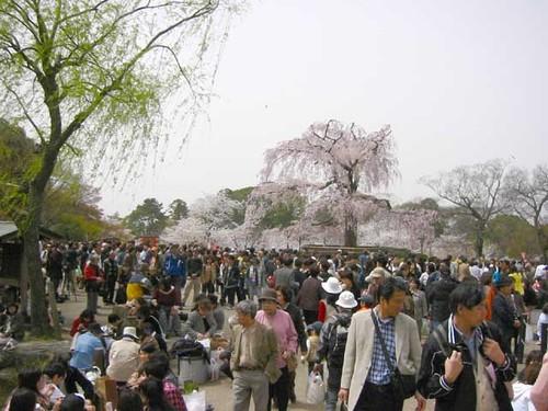4月8日 しだれ桜周辺